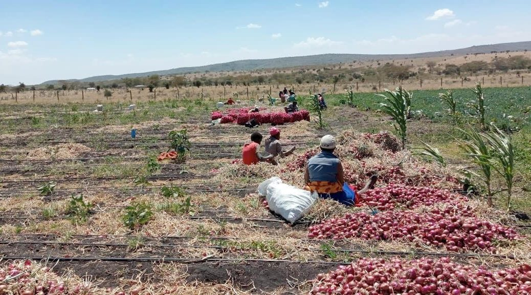 Onion harvesting and onion challenges in kenya